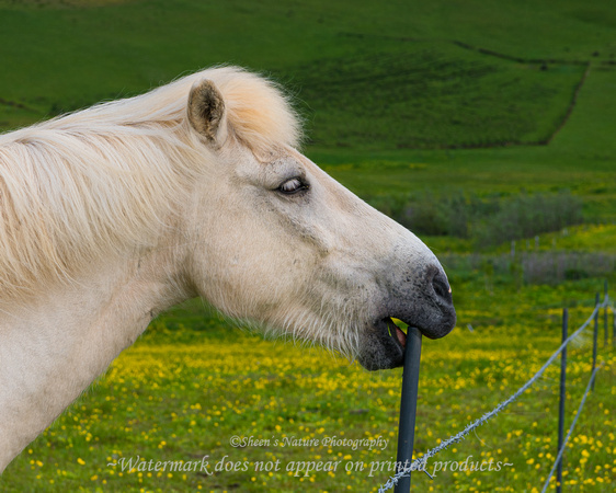 Icelandic Horse and his Toothpick