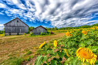 Sunflower Farm in Suttons Bay