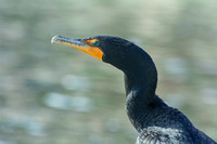 Turquoise Eyes of the Cormorant