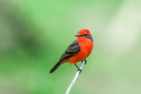 Vermillion Flycatcher 2