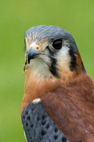 Kestrel - Sparrow Hawk
