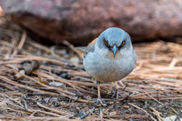 Fierce Face - Yellow eyed Junco