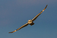 Wingspan - short eared owl